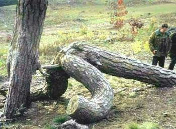 alberi che si inculano