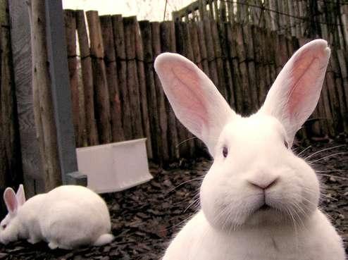 coniglio omoerotico
