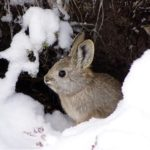 Undated photograph of pygmy rabbit in Salmon, Idaho