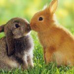Sweet bunny kiss Wallpaper__yvt2