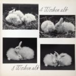24 - Young Angora Rabbits