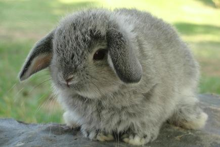 1338343234_211628646_1-Petit-Jean-Bunnies-Rabbitry-Holland-Lop-Rabbits-Petit-Jean-Mountain-Area