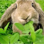 Bunny eating clover