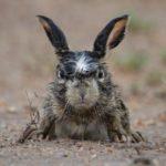 angry-hare-e1365502066839-634x805