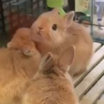 musetto-coniglietto