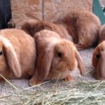 red-mini-lop-babies-for-sale-008